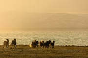 Horses in the sunset 0001