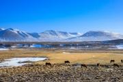 Icelandic horses in the wild 0001